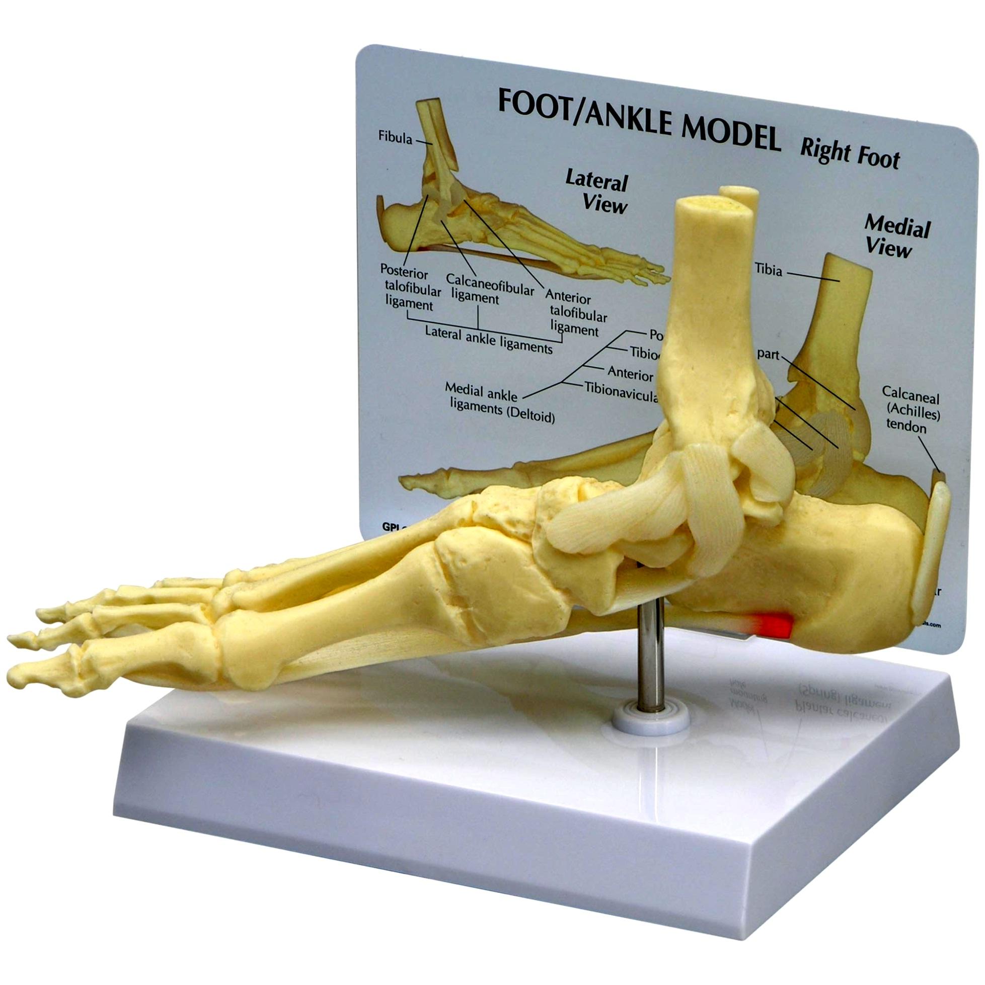 آناتومی پا و مچ پا 1